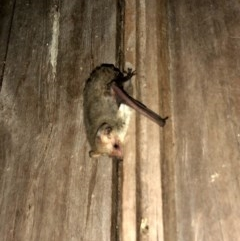 Nyctophilus geoffroyi (Lesser Long-eared Bat) at Wandiyali-Environa Conservation Area - 5 Nov 2019 by Wandiyali