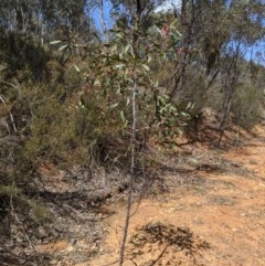 Acacia pycnantha (Golden Wattle) at Jerrabomberra, NSW - 6 Nov 2019 by MattM