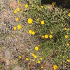 Rutidosis leptorhynchoides (Button wrinklewort) at Blue Gum Point to Attunga Bay - 11 Jun 2019 by sglauert