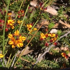 Phyllota humifusa (Dwarf Phyllota) at Wingecarribee Local Government Area - 28 Oct 2019 by daniel.medd@bigpond.com
