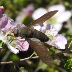 Comptosia insignis (A bee fly) at ANBG - 6 Nov 2019 by HelenCross