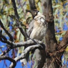 Philemon corniculatus (Noisy Friarbird) at Namadgi National Park - 5 Nov 2019 by KMcCue