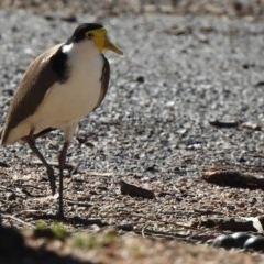 Vanellus miles (Masked Lapwing) at Namadgi National Park - 5 Nov 2019 by KMcCue