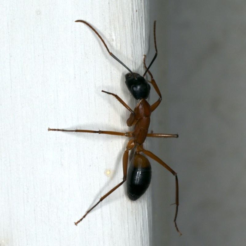 Camponotus consobrinus at Ainslie, ACT - 22 Oct 2019