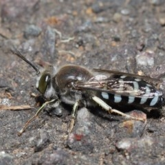 Bembix sp. (genus) at ANBG - 5 Nov 2019