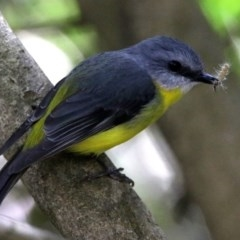 Eopsaltria australis (Eastern Yellow Robin) at ANBG - 6 Nov 2019 by RodDeb
