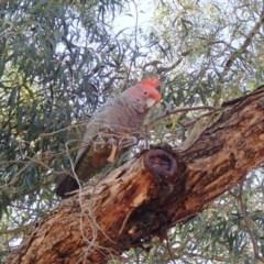 Callocephalon fimbriatum (Gang-gang Cockatoo) at Australian National University - 5 Nov 2019 by Laserchemisty