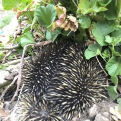 Tachyglossus aculeatus (Short-beaked Echidna) at Illilanga & Baroona - 11 Oct 2019 by Illilanga