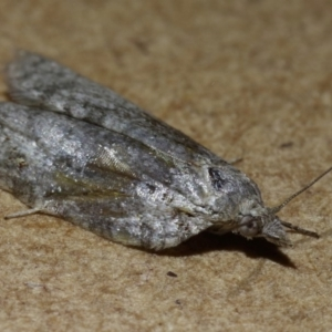 Tortricinae (subfamily) at Kambah, ACT - 31 Oct 2019