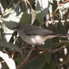 Gerygone fusca (Western Gerygone) at Michelago, NSW - 28 Sep 2019 by Illilanga