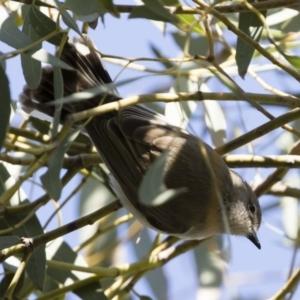 Gerygone fusca at Michelago, NSW - 28 Sep 2019