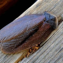 Laxta granicollis (Common trilobite cockroach, bark cockroach) at Crooked Corner, NSW - 6 Nov 2019 by Milly