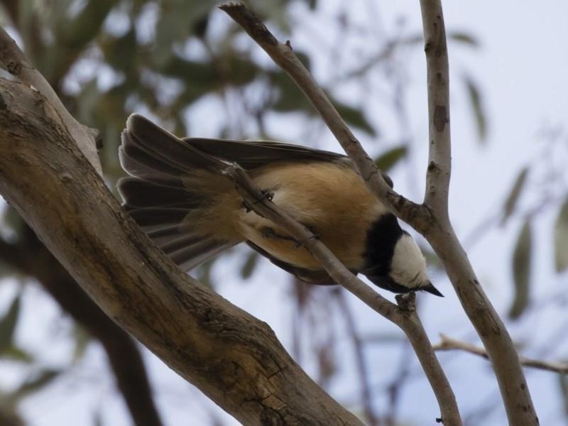 Pachycephala rufiventris at Michelago, NSW - 23 Sep 2019