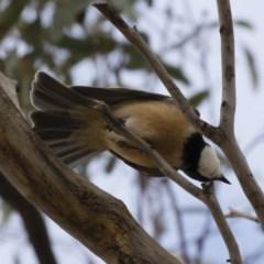 Pachycephala rufiventris (Rufous Whistler) at Michelago, NSW - 23 Sep 2019 by Illilanga
