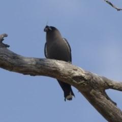 Artamus cyanopterus (Dusky Woodswallow) at Illilanga & Baroona - 9 Jan 2019 by Illilanga
