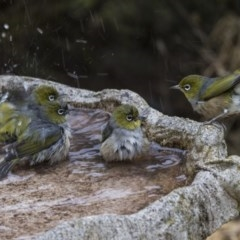 Zosterops lateralis (Silvereye) at Higgins, ACT - 29 Jul 2019 by Alison Milton