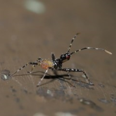 Reduviidae sp. (family) (An assassin bug) at ANBG - 5 Nov 2019 by TimL