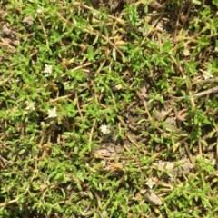 Crassula helmsii (Swamp Stonecrop) at Burra, NSW - 24 Mar 2019 by JaneR