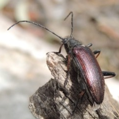 Homotrysis scutellaris (Darkling beetle) at Tuggeranong DC, ACT - 2 Nov 2019 by michaelb