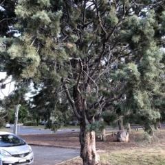 Hesperocyparis arizonica (Arizona Cypress) at Hughes, ACT - 7 Nov 2019 by ruthkerruish