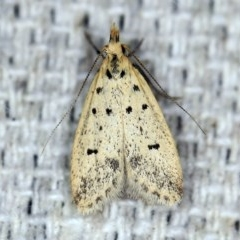 Atheropla decaspila (A concealer moth) at O'Connor, ACT - 29 Oct 2019 by ibaird