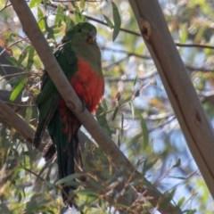Alisterus scapularis (Australian King-Parrot) at Namadgi National Park - 5 Nov 2019 by SWishart