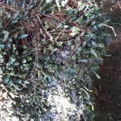Pyrrosia rupestris (Rock felt fern) at Wingecarribee Local Government Area - 8 Nov 2019 by KarenG