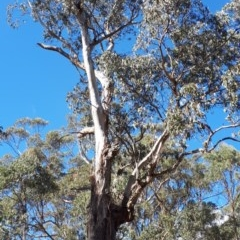 Eucalyptus cypellocarpa (TBC) at Wingecarribee Local Government Area - 8 Nov 2019 by KarenG