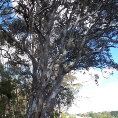 Eucalyptus amplifolia (Cabbage Gum) at Wingecarribee Local Government Area - 8 Nov 2019 by KarenG