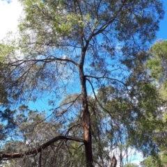 Acacia binervata (Two-veined Hickory) at Wingecarribee Local Government Area - 8 Nov 2019 by KarenG