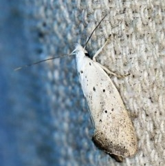 Thalerotricha mylicella (A concealer moth) at O'Connor, ACT - 23 Oct 2019 by ibaird