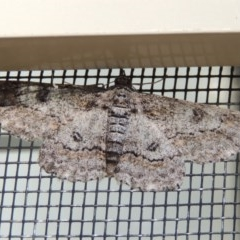 Cleora displicata (A Geometrid moth) at Conder, ACT - 30 Oct 2019 by michaelb