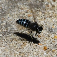 Bembix sp. (Unidentified sand wasp) at South Pacific Heathland Reserve - 9 Nov 2019 by CBrandis