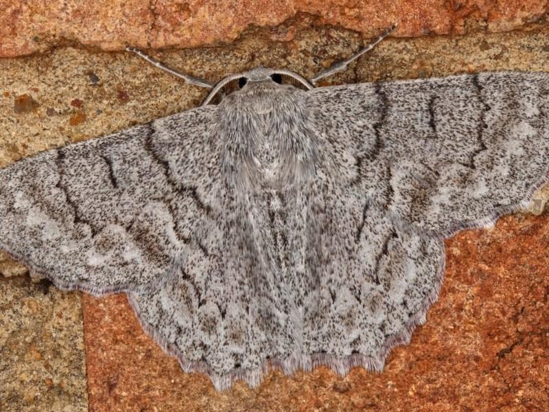 Crypsiphona ocultaria at Kambah, ACT - 9 Nov 2019