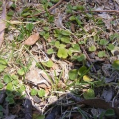 Dichondra repens (Kidney Weed) at Federal Golf Course - 10 Nov 2019 by MichaelMulvaney