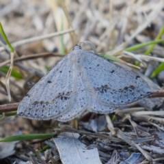 Taxeotis intextata (Looper Moth, Grey Taxeotis) at Jerrabomberra, ACT - 9 Nov 2019 by Marthijn