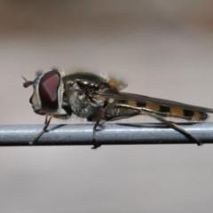 Melangyna viridiceps (Hover fly) at Evatt, ACT - 10 Nov 2019 by TimL