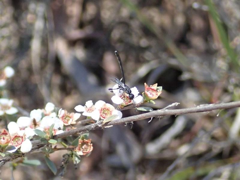 Gasteruption sp. (genus) at Aranda Bushland - 10 Nov 2019