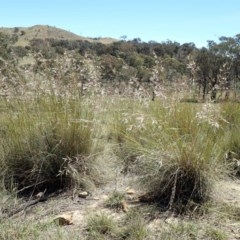 Rytidosperma pallidum (Red-anther Wallaby Grass) at Mount Painter - 10 Nov 2019 by CathB