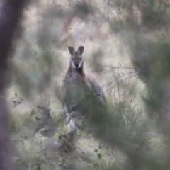 Macropus rufogriseus (Red-necked Wallaby) at Mongarlowe River - 10 Nov 2019 by LisaH