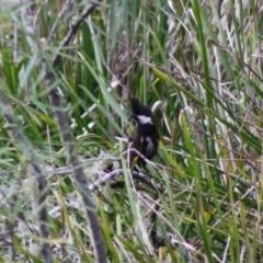Psophodes olivaceus (Eastern Whipbird) at Mongarlowe River - 10 Nov 2019 by LisaH