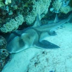 Heterodontus portusjacksoni (Port Jackson Shark) at Bawley Point, NSW - 11 Nov 2019 by GLemann