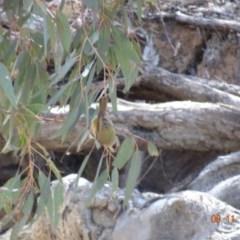 Melithreptus brevirostris (Brown-headed Honeyeater) at Mount Ainslie - 5 Nov 2019 by TomT