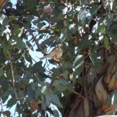 Melithreptus brevirostris (Brown-headed Honeyeater) at Campbell Park Woodland - 5 Nov 2019 by TomT