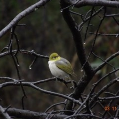 Zosterops lateralis (Silvereye) at Red Hill Nature Reserve - 3 Nov 2019 by TomT