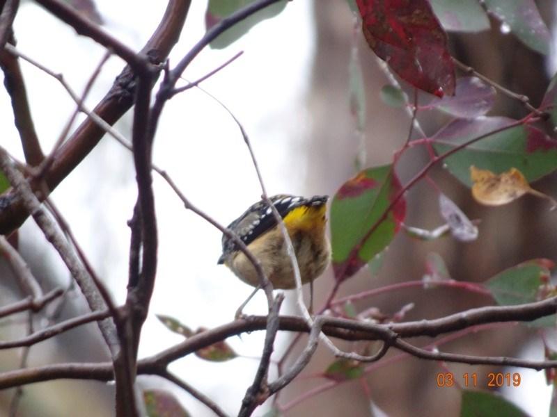 Pardalotus punctatus at Red Hill Nature Reserve - 3 Nov 2019