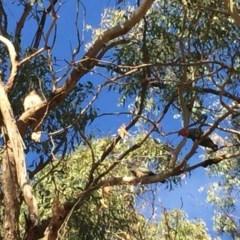 Callocephalon fimbriatum (Gang-gang Cockatoo) at Ainslie, ACT - 10 Nov 2019 by WalterEgo