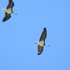 Threskiornis spinicollis (Straw-necked Ibis) at Berry, NSW - 5 Nov 2019 by Andrejs
