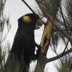 Calyptorhynchus funereus (Yellow-tailed Black-cockatoo) at Berry, NSW - 2 Nov 2019 by Andrejs
