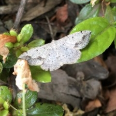 Taxeotis intextata (Looper Moth, Grey Taxeotis) at Kingston, ACT - 11 Nov 2019 by Jubeyjubes